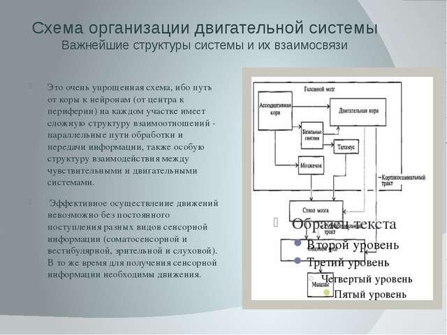 Схема организации двигательной системы Важнейшие структуры системы и их взаим...