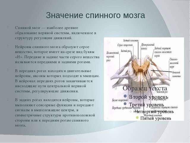 Значение спинного мозга Спинной мозг — наиболее древнее образование нервной с...