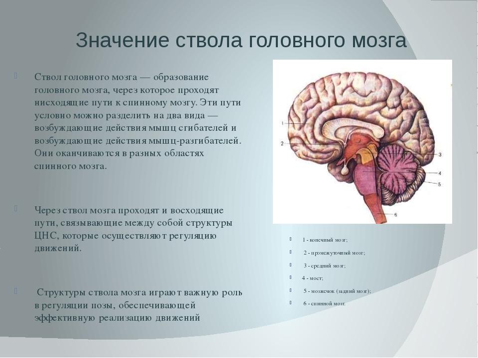 Значение ствола головного мозга Ствол головного мозга — образование головного...