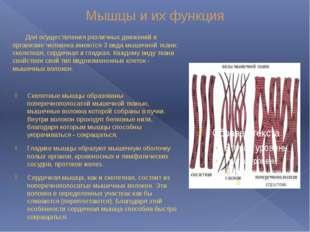 Мышцы и их функция Для осуществления различных движений в организме человека