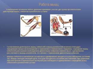 Работа мышц В выполнении человеком любого движения принимают участие две груп