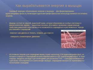 Как вырабатывается энергия в мышцах Базовый принцип образования энергии в мыш
