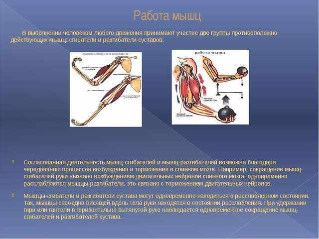 Работа мышц В выполнении человеком любого движения принимают участие две груп...