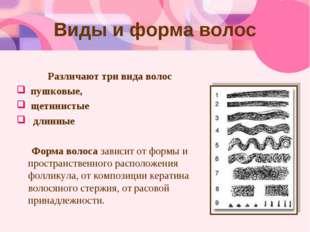 Виды и форма волос Различают три вида волос пушковые, щетинистые длинные Форм