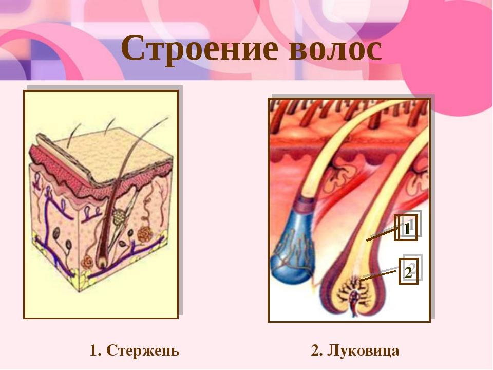 Строение волос 1. Стержень 2. Луковица