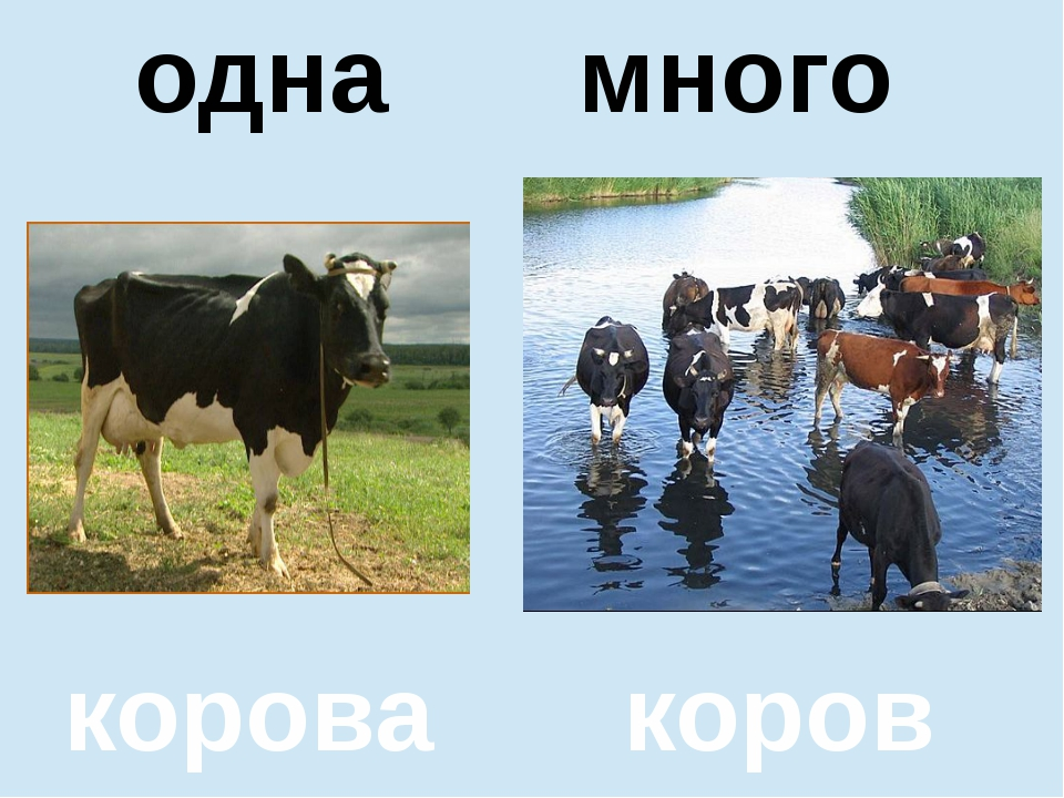 помидор помидоров один много корова коров одна много
