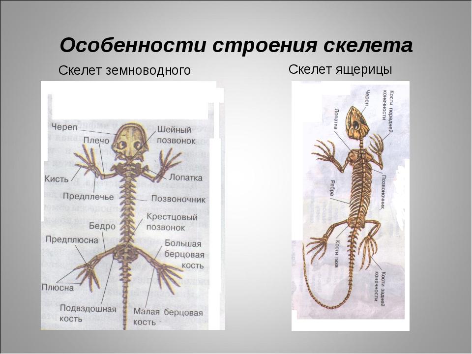 Особенности строения скелета Скелет ящерицы Скелет земноводного