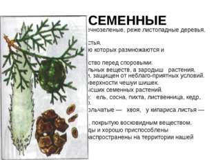 ГОЛОСЕМЕННЫЕ исключительно наземные вечнозеленые, реже листопадные деревья,