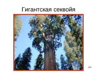 * Гигантская секвойя