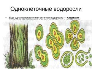 Одноклеточные водоросли Еще одна одноклеточная зеленая водоросль - - хлорелла