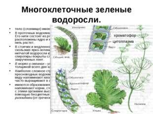 Многоклеточные зеленые водоросли. тело (слоевище) имеет форму нитей или плоск
