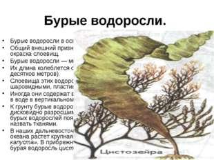 Бурые водоросли. Бурые водоросли в основном морские растения. Общий внешний п
