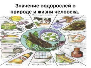 Значение водорослей в природе и жизни человека.