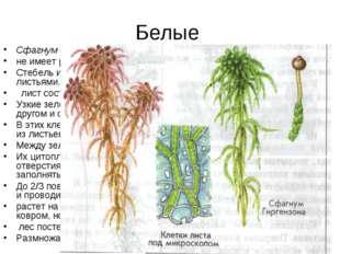 Белые Сфагнум — растение с сильно ветвящимся стеблем. не имеет ризоидов. Стеб