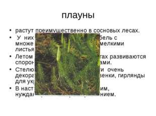 плауны растут преимущественно в сосновых лесах. У них длинный ползучий стебел