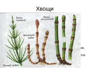 Хвощи многолетние травянистые растения с длинными ветвящимися корневищами, зи