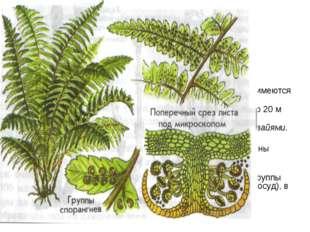 Папоротники широко распространены по всему земному шару. растут как на суше,
