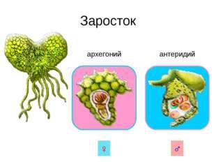 Заросток архегоний антеридий ♀ ♂