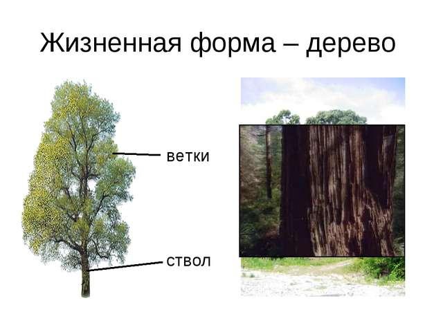 Жизненная форма – дерево