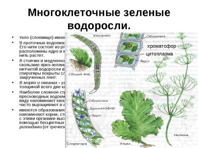 Многоклеточные зеленые водоросли. тело (слоевище) имеет форму нитей или плоск...