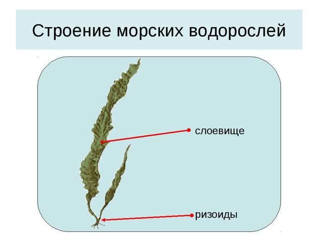 Строение морских водорослей