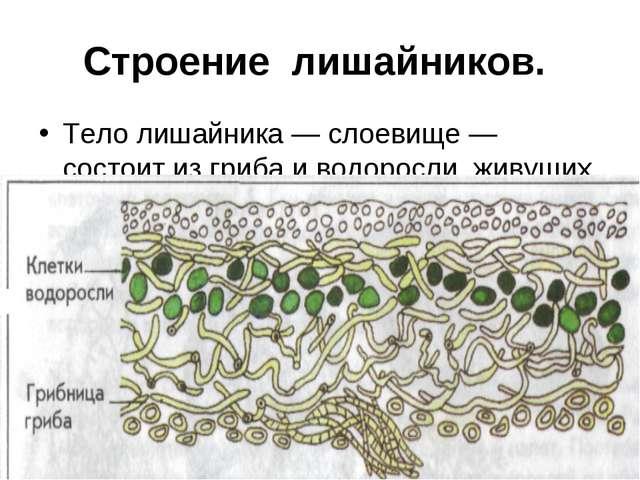 Строение лишайников. Тело лишайника — слоевище — состоит из гриба и водоросли...