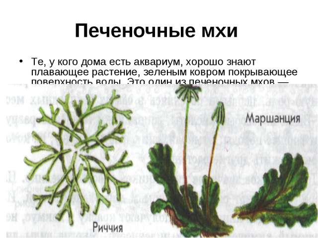 Печеночные мхи Те, у кого дома есть аквариум, хорошо знают плавающее растение...