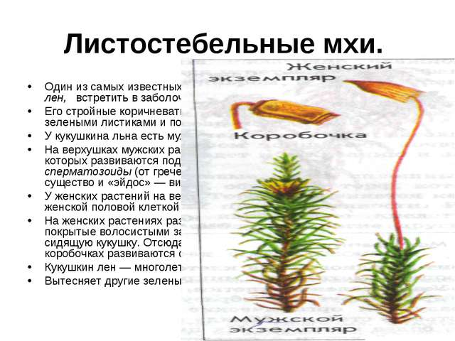 Листостебельные мхи. Один из самых известных листо-стебельных зеленых мхов —...