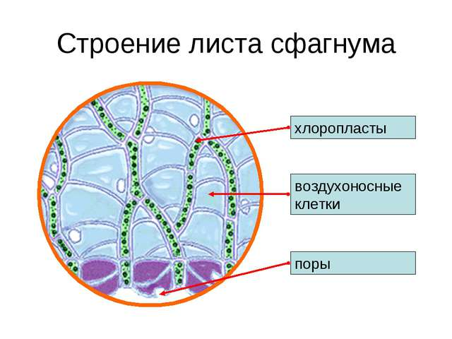 Строение листа сфагнума