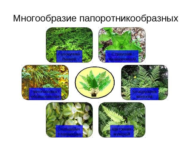 Многообразие папоротникообразных