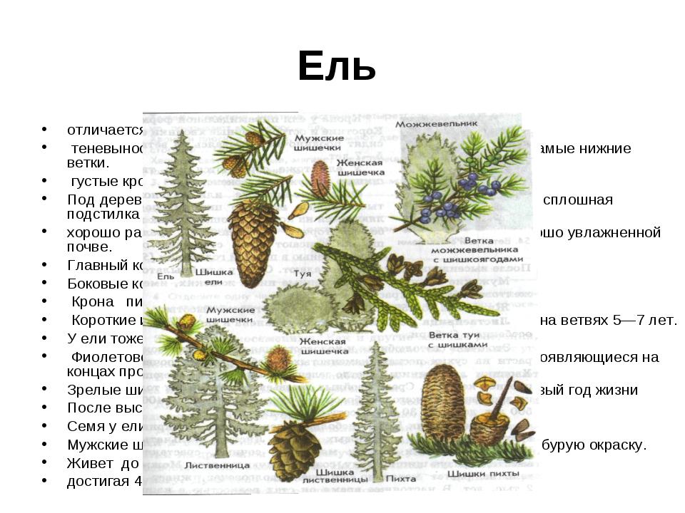 Ель отличается от сосны внешним видом. теневыносливая порода, в густом лесу у...