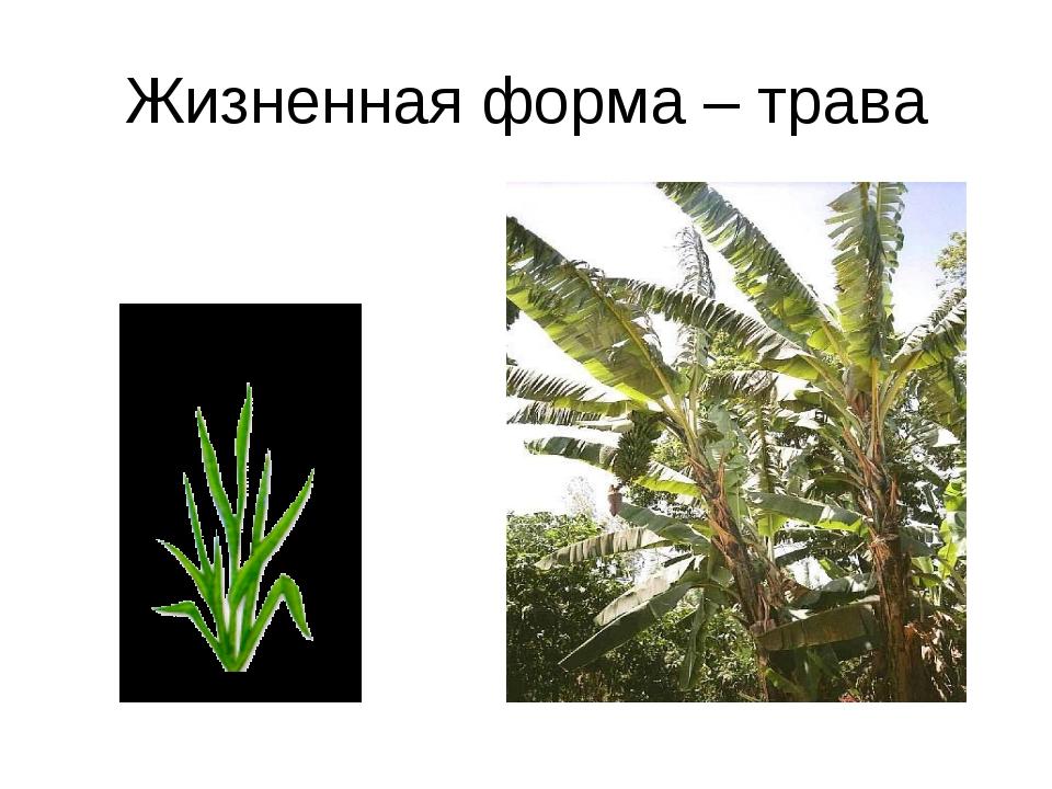 Жизненная форма – трава