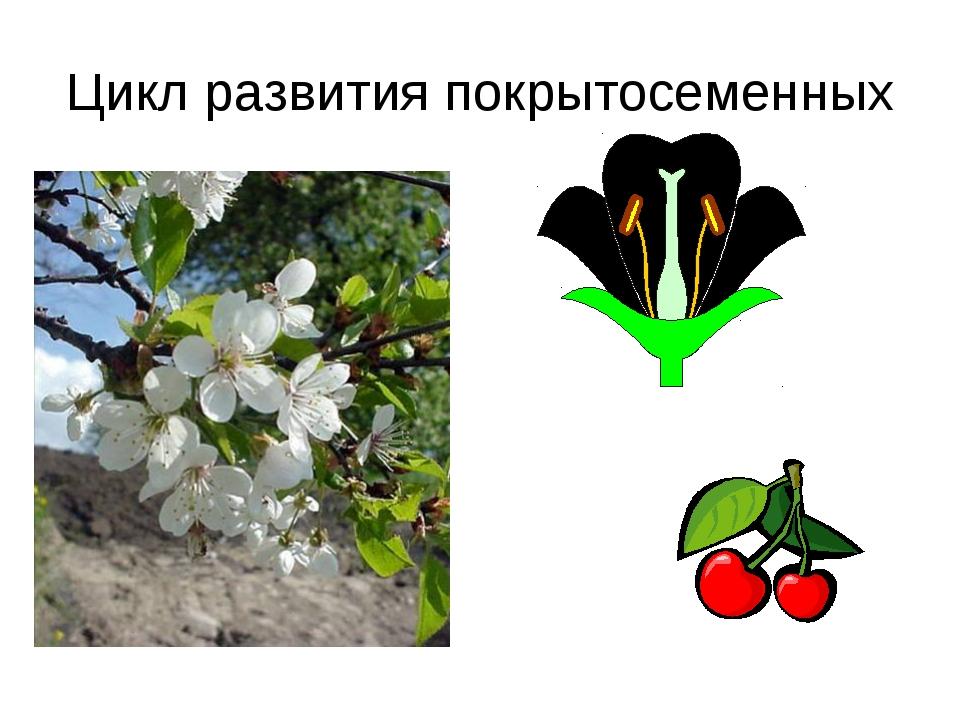 Цикл развития покрытосеменных
