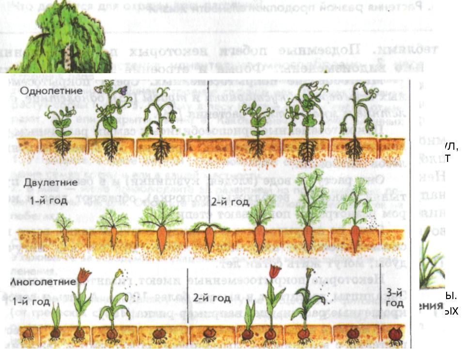 Многообразие покрытосеменных. Среди покрытосеменных есть деревья, кустарники...