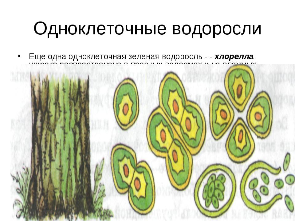 Одноклеточные водоросли Еще одна одноклеточная зеленая водоросль - - хлорелла...
