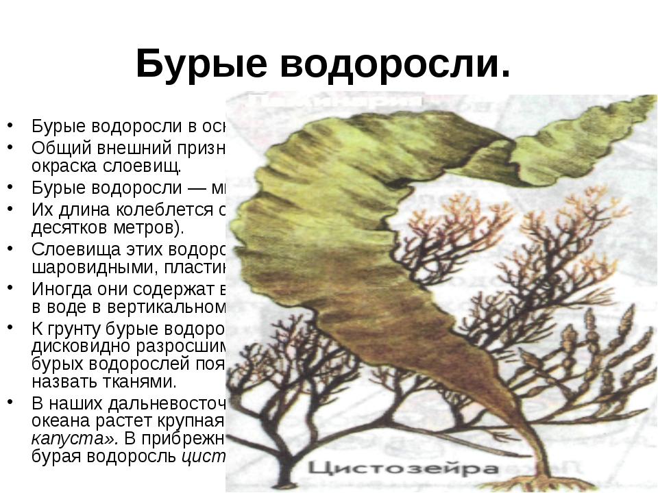 Бурые водоросли. Бурые водоросли в основном морские растения. Общий внешний п...