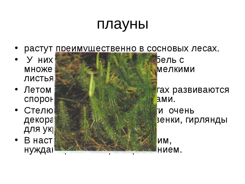 плауны растут преимущественно в сосновых лесах. У них длинный ползучий стебел...