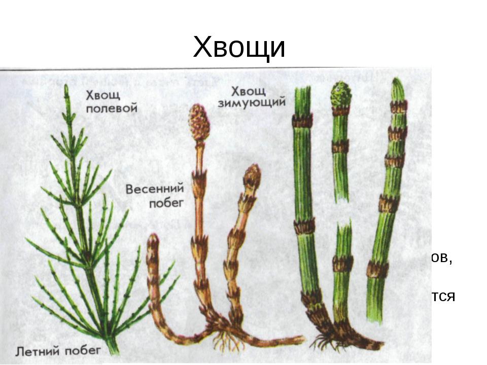 Хвощи многолетние травянистые растения с длинными ветвящимися корневищами, зи...