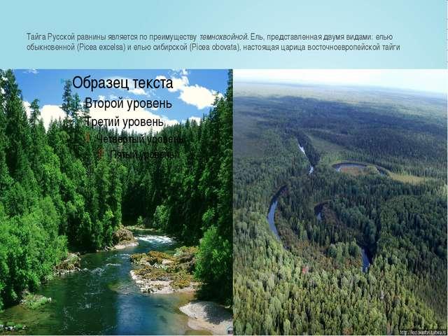 Тайга Русской равнины является по преимуществутемнохвойной.Ель, представлен...