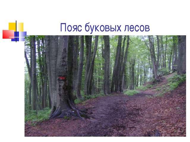 Пояс буковых лесов