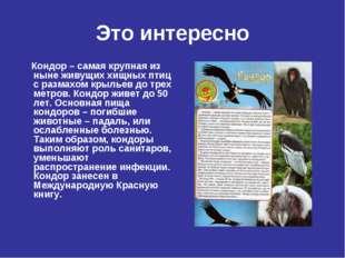 Это интересно Кондор – самая крупная из ныне живущих хищных птиц с размахом к