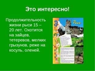 Это интересно! Продолжительность жизни рыси 15 – 20 лет. Охотится на зайцев,