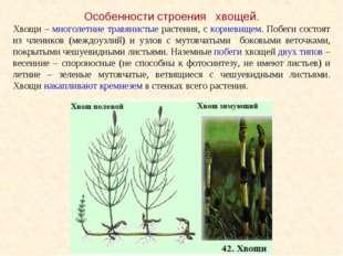Особенности строения хвощей. Хвощи – многолетние травянистые растения, с корн