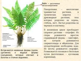 Вайя – рассеченные листья папоротников Папоротники – многолетние травянистые