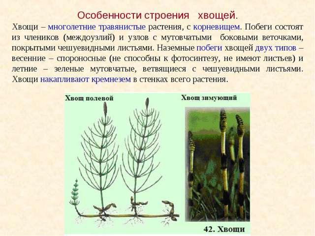 Особенности строения хвощей. Хвощи – многолетние травянистые растения, с корн...