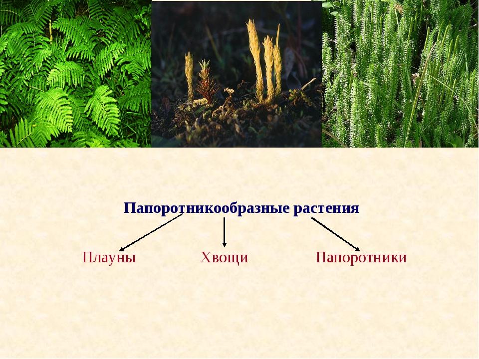 Папоротникообразные растения Плауны Хвощи Папоротники