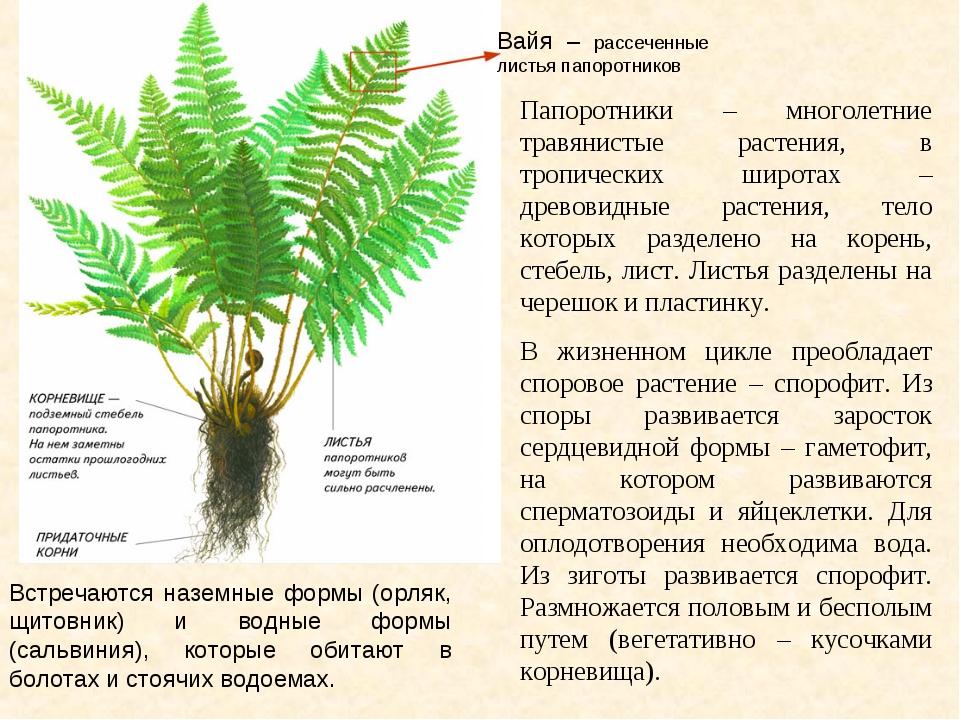 Вайя – рассеченные листья папоротников Папоротники – многолетние травянистые...