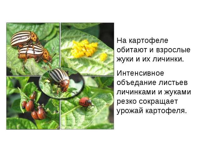 На картофеле обитают и взрослые жуки и их личинки. Интенсивное объедание лист...