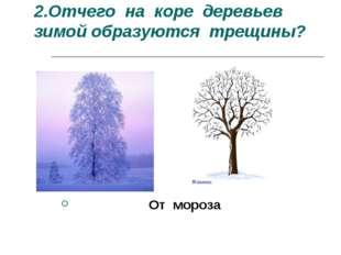 2.Отчего на коре деревьев зимой образуются трещины? От мороза