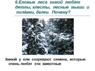 6.Еловые леса зимой любят дятлы, клесты, лесные мыши и полёвки, белки. Почему